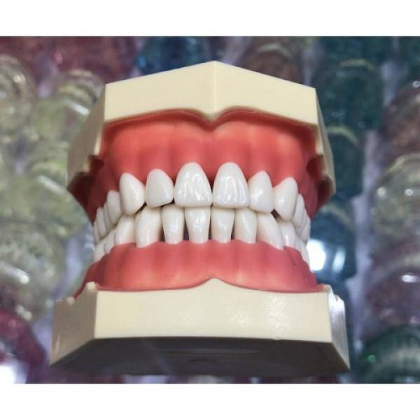Зубна модель без артикулятора, 28 зубів